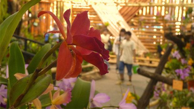 Orquídeas, símbolo local que trasciende fronteras