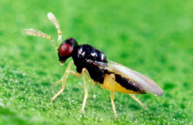 Crían especie de avispas que ayudan contra el HLB